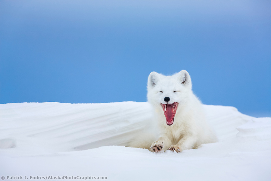 alaska wildlife photos: Arctic fox in white winter coat rests in a snowdrift along a lake in Alaska's Arctic North Slope. (Patrick J. Endres / AlaskaPhotoGraphics.com)