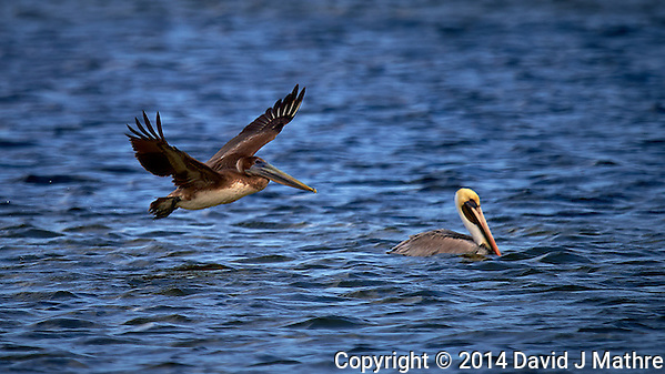 Brown Pelican Flying By a White Pelican in the Water. Merritt Island National Wildlife Refuge in Florida. Image taken with a Nikon Df camera and 600 mm f/4 VR lens (ISO 100, 600 mm, f/4, 1/1600 sec). (David J Mathre)