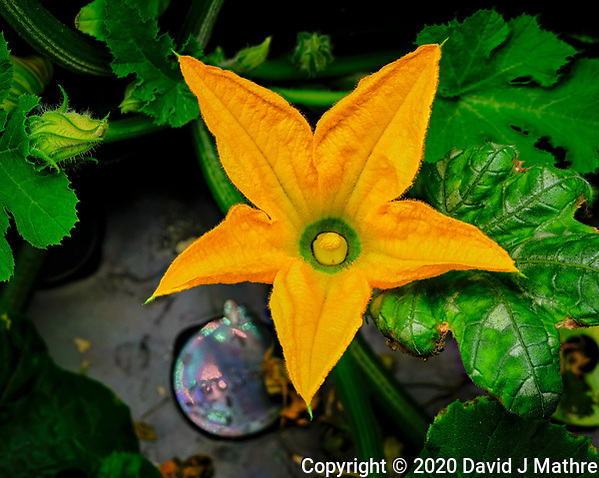 Male Zucchini Flower. Focus stacked image taken with a Fuji X-T3 camera and 80 mm f/2.8 macro lens (ISO 160, 80 mm, f/8, 1/60 sec). Composite of 50 images processed with Capture One Pro and Helicon Focus (method B) (DAVID J MATHRE)