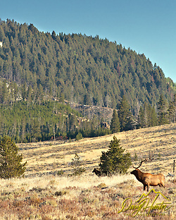 A bull elk checks the arrival of a black Yellowstone wolf onto the scene. (Daryl L. Hunter)
