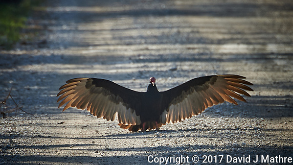 Turkey Vulture blocking the Loop road in Big Cypress National Preserve. Winter Nature in Florida Image taken with a Nikon D4 camera and 80-400 mm VRII telephoto zoom lens (David J Mathre)