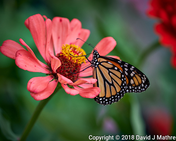 Monarch Butterfly on a Pink Zinnia Bloom. Image taken with a Fuji X-H1 camera and 80 mm f/2.8 macro lens. (DAVID J MATHRE)