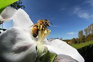 Honey bee (Apis mellifera) collecting pollen from the flower of an apple tree | Die Honigbiene (Apis mellifera) sammelt Pollen in einer Apfelbaumblüte. Ganz nebenbei bestäubt sie dabei die Blütenpflanzen und wird damit zum wichtigsten Bestäuber in Deutschland (Solvin Zankl)