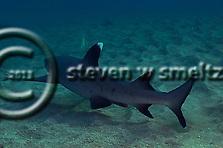 White-tip Reef Shark, Triaenodon obesus, (Rüppell, 1837), mano lalakea, Maui Hawaii (Steven W SMeltzer)