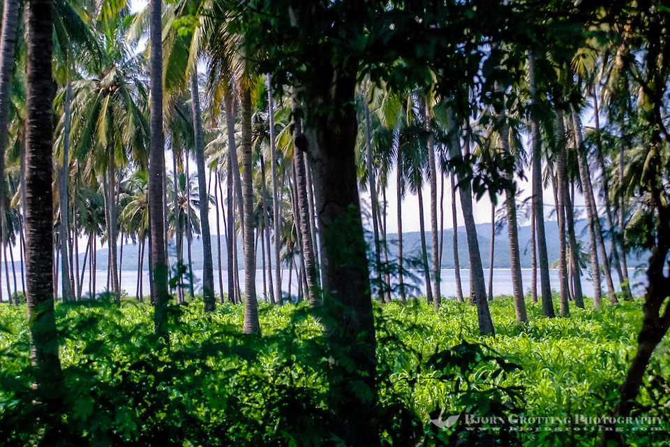 Java, Banyuwangi. Palm forest north of Banyuwangi, Bali can be seen among the trees. (Photo Bjorn Grotting)