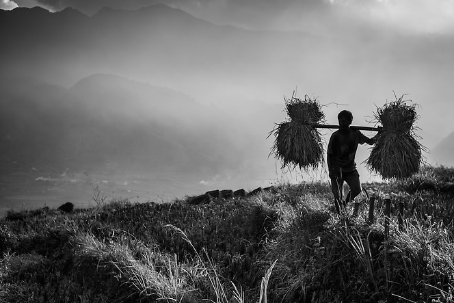 A man carries rice through a rice paddy near Sapa, northern Vietnam. (Quinn Ryan Mattingly)