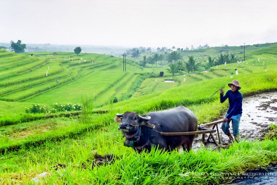 Bali, Tabanan, Jatiluwih. At 700m altitude, with beatiful terraced paddy fields. Farmers are still using traditional methods. (Photo Bjorn Grotting)