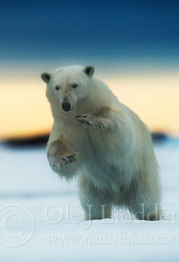 Polar bear (Ursus maritimus) in Svalbard (Ole J Liodden)