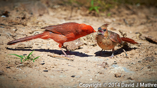Male Northern Cardinal Feeding Breakfast to a Young Cardinal at a Private Ranch in Southern Texas. Image taken with a Nikon D4 camera and 500 mm f/4 lens (ISO 500, 500 mm, f/5.6, 1/2000 sec. (David J Mathre)