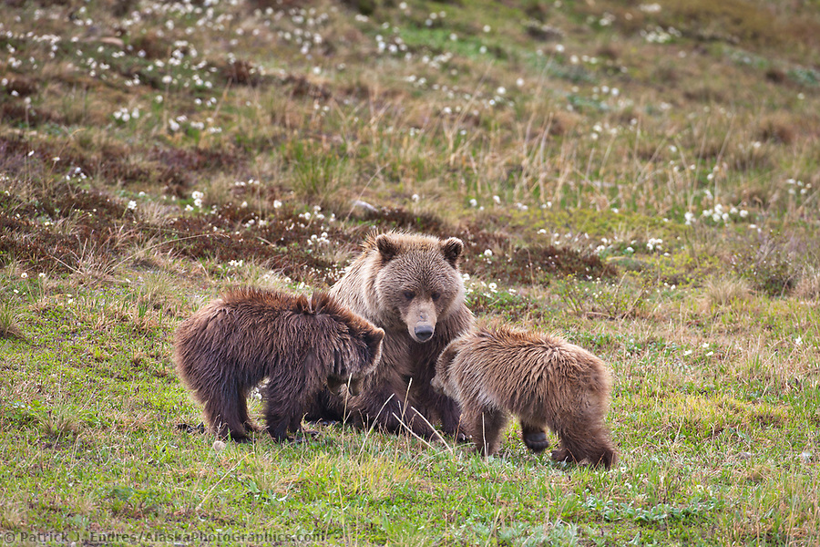 Grizzly bear photos: Sow grizzly bear and cubs of the year, Denali National Park, Alaska. Ⓒ Patrick J. Endres / AlaskaPhotoGraphics.com