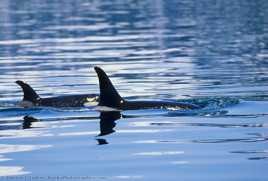 Marine wildlife photos: Orca, Killer whales, Prince William Sound, Alaska (Patrick J. Endres / AlaskaPhotoGraphics.com)