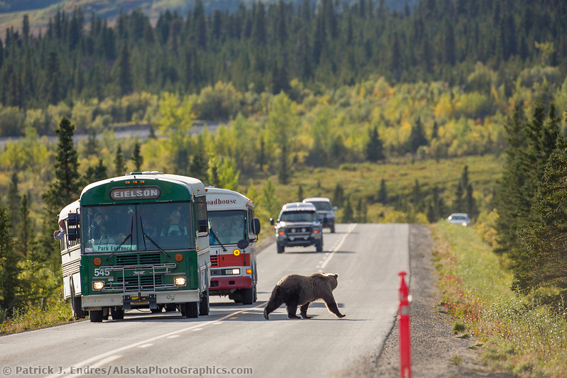 A grizzly bear walks on the Denali Park road as visitors in tour buses watch closely. (Patrick J. Endres / AlaskaPhotoGraphics.com)