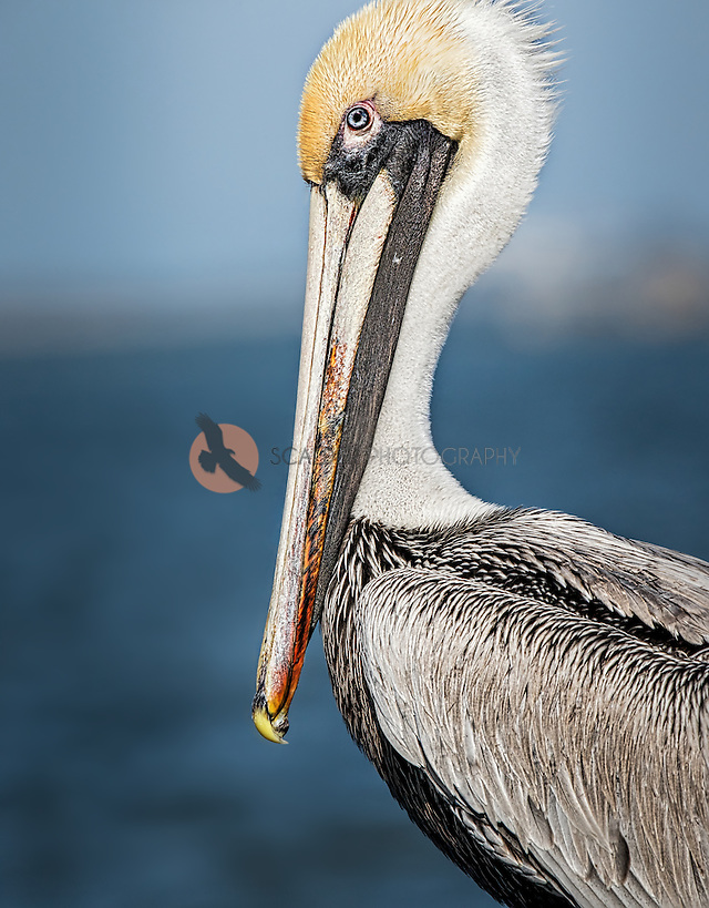 Close view of a Brown Pelican against blue water and sky (SandraCalderbank, sandra calderbank)
