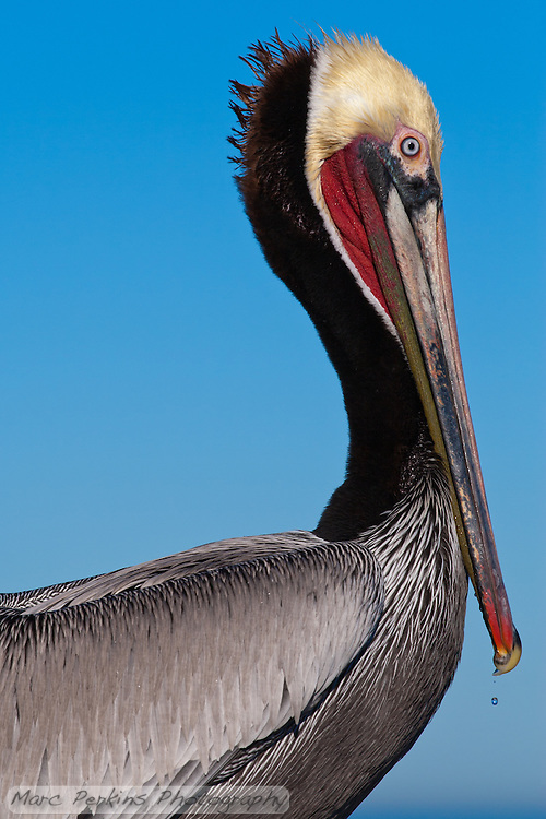 This California brown pelican (Pelecanus occidentalis californicus) is photographed in profile closeup.  The Pelican is seen against the blue California sky with the ocean/horizon just visible at the bottom of the frame, and has just returned from fishing.  A single drop of water can be seen dropping from its beak, frozen in mid air. (Marc C. Perkins)