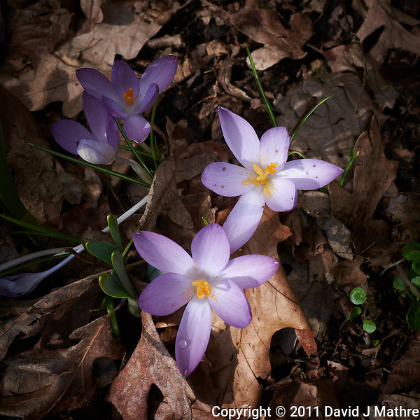 Early purple crocus blooms. Late winter nature in New Jersey. Image taken with a Leica D-Lux-5 camera (ISO 100, 8 mm, f/2.8, 1/320 sec). (David J Mathre)