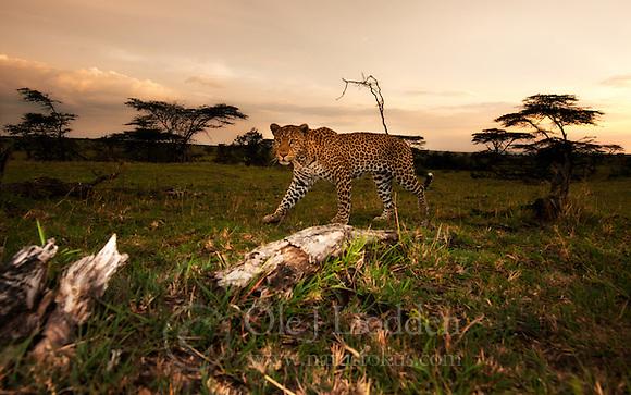 Leopard (Panthera pardus) in Masai Mara (Ole Jørgen Liodden)