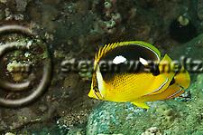Fourspot Butterflyfish, Chaetodon quadrimaculatus, Maui Hawaii (Steven Smeltzer)