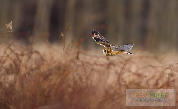 Short-eared Owl, Mercer County, New Jersey (Steve Greer / SteveGreerPhotography.com)