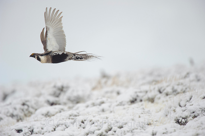 Adult male Gunnison Sage-Grouse  in flight. Gunnison County, Colorado. (Gerrit Vyn)