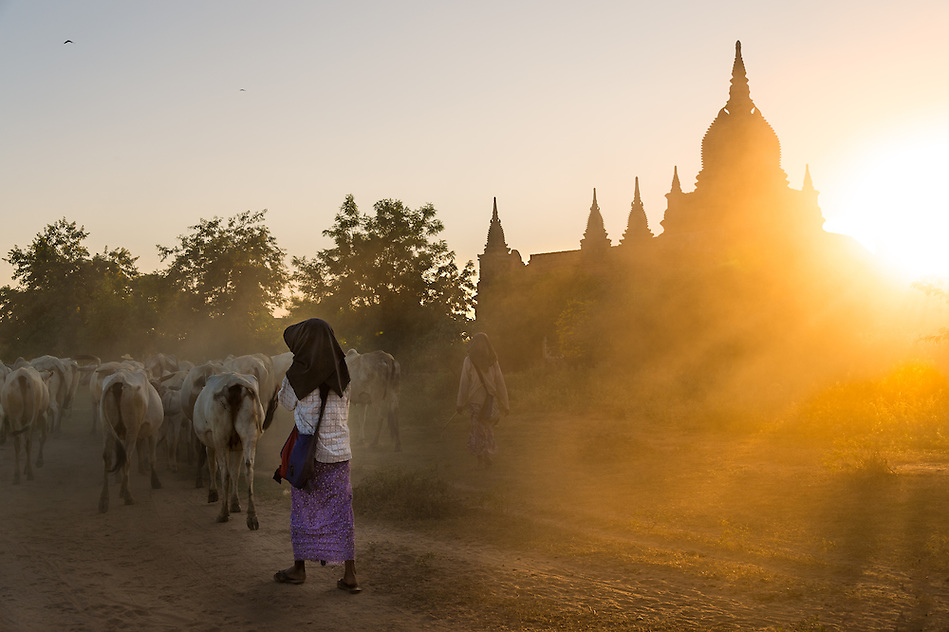 BAGAN, MYANMAR - CIRCA DECEMBER 2013: Farmers driving cattle back to their villages in the afternoon near Bagan in Myanmar (Daniel Korzeniewski)