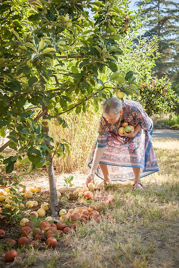 Neighbor Martha Casselman gathers apples in the front of her home on a warm morning in Calistoga (Clark James Mishler)