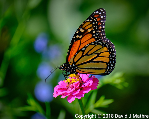 Monarch Butterfly on a Pink Zinnia Flower. Image taken with a Fuji X-T3 camera and 100-400 mm OIS telephoto zoom lens (ISO 200, 400 mm, f/5.6, 1/500 sec). (David J Mathre)
