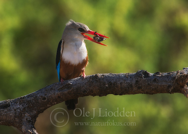 Grey-headed Kingfisher (Halcyon leucocephala) in Samburu, Kenya (Ole Jrgen Liodden)