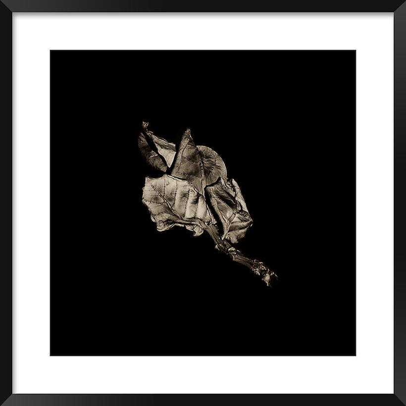 Fine art image of a dry leaves in the Sahara desert, Morocco. (Rosa Frei)