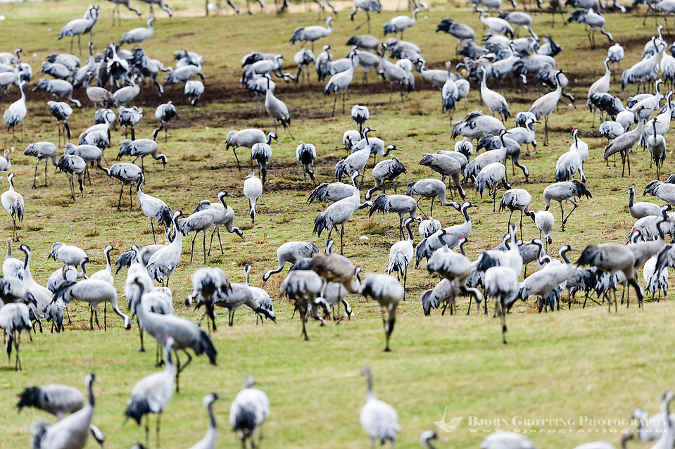 Sweden, Lake Hornborga. Annual migration of Common Cranes. (Photo Bjorn Grotting)