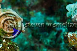 Fairy Basslet, Gramma loreto,  Grand Cayman (StevenWSmeltzer.com)