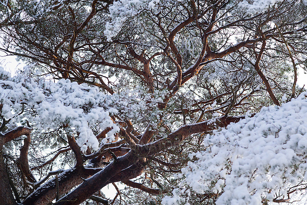 A large and ancient pine tree lit by gentle dawn sun appears to have large clumps of blossom made from fresh snow. (Andrew Tobin)