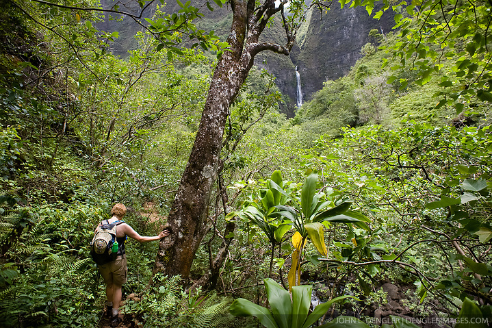 A hiker makes her way through the forest of Hanakapiai Valley to Hanakapiai Falls in the Na Pali Coast State Wilderness Park. The 120 foot falls are reached by way of a two mile primitive side trail off the Kalalau Trail which runs along the Na Pali coast on the northern shore of the island of Kauai in Hawaii. From the trailhead at Kee Beach in Haena State Park, the strenuous hike to Hanakapiai falls is eight miles roundtrip. (John L. Dengler)