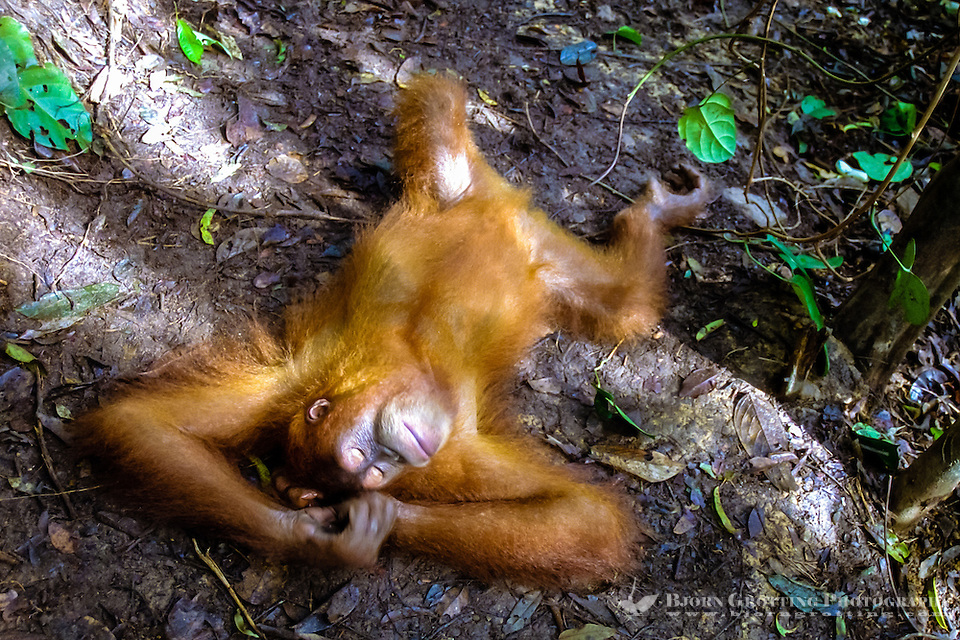 Indonesia, Sumatra. Bukit Lawang. Gunung Leuser National Park. The orangutan sanctuary of Bukit Lawang is located inside the park. At the feeding platform, taking a nap. (Photo Bjorn Grotting)