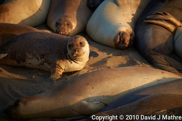 Elephant Seals at Piedras Blancas Beach, Central California Coast. Image taken with a Nikon D3x and 70-300 mm VR lens (ISO 220, 300 mm, f/8, 1/250 sec). (David J Mathre)