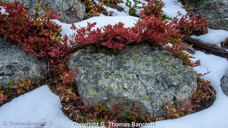 The blueberries leaves had turned a crimson color and stood out against the granite and snow. (G. Thomas Bancroft)