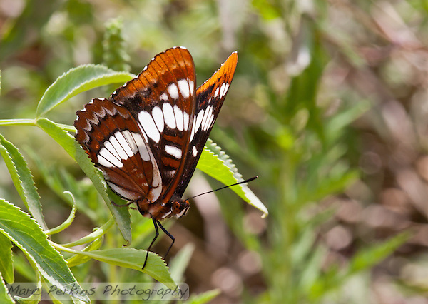 A brown and white butterfly takes a break on a leaf at Crystal Cove State Park.  The butterfly has brown and black speckled eyes, and is missing an antenna (it appears to have only the left one).  This is probably in family Nymphalidae, as the butterfly appears to be lacking its two front legs (they're greatly reduced in that family); my best guess is that it's a Lorquin's Admiral (_Limenitis lorquini_). (Marc C. Perkins)