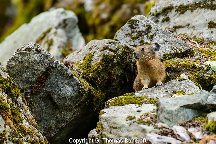 Pika popped out of its burrow under a boulder and gave its alarm call as I approached.  It then froze for several minutes waiting to see if I was a threat. (G. Thomas Bancroft)