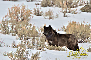 "Black Wolf, winter,  Jackson Hole, Wyoming (Daryl Hunter's ""The Hole Picture"" � Daryl L. Hunter has been photographing the Yellowstone Region since 1987, when he packed up his view camera, Pentex 6X7, and his 35mm�s and headed to Jackson Hole Wyoming. Besides selling photography Daryl also publ/Daryl L. Hunter)"