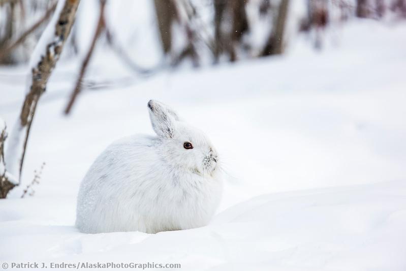 Snowshoe hare in white winter fur, Brooks Range, Alaska. (Patrick J Endres / AlaskaPhotoGraphics.com)
