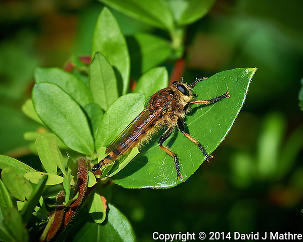 Robber-Fly, Sourland Mountain Preserve in New Jersey. Image taken with a Nikon D3s camera and 80-400 mm VR II lens (ISO 640, 400 mm, f/5.6, 1/2000 sec). Raw image processed with Capture One Pro, Focus Magic, and Photoshop CC 2014. (David J Mathre)