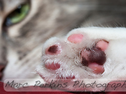 A closeup of Lucca's hind paw, with her beautiful green eye and nose staring at you from the background in soft focus.  Her paw pad leathers are multicolored because she's a dilute caliby (blue patched tabby and white), so the leathers are patterned just like the rest of her is.  The leathers are a mix of two colors: blue (dilute black) and pink/rose.  The texturing on the pads is also visible; it's like she's got all-terrain tire treads on her paws :) (Marc C. Perkins)