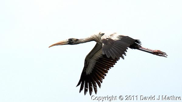 Wood Stork in Flight. Black Point Wildlife Drive in Merritt Island Wildlife Refuge, Florida. Image taken with a Nikon D3s and 500 mm f/4 VR lens (ISO 1000, 500 mm, f/5.6, 1/640 sec). (David J Mathre)