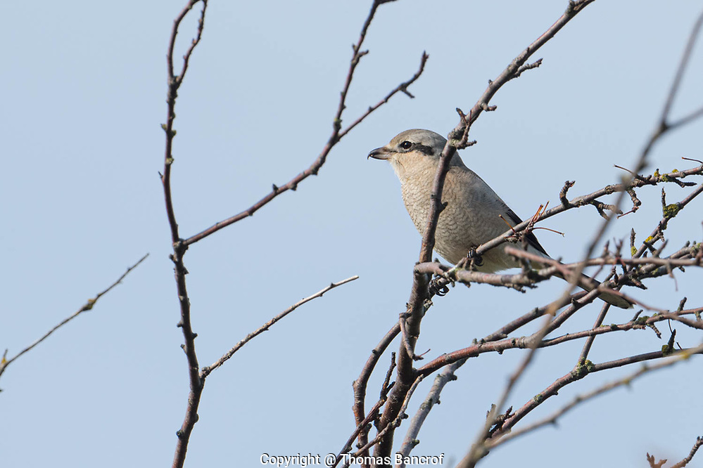 The Northern Shrike zipped overhead going behind me and landing on top of a leafless bush. (Thomas Bancroft)