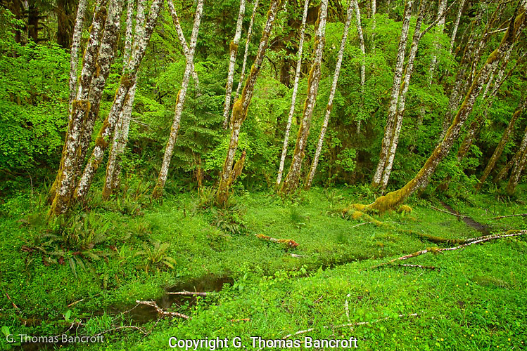 I had jumped the stream to work my way out onto a sand bar to look at the Hoh River.  I happened to look back and seeing the yellow buttercups along the stream and the red alders forming a protective fence.  The light in the early morning with gentle rain was just spectacular. (G. Thomas Bancroft)