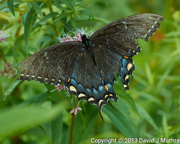 Black Swallowtail Butterfly with Tattered Wings on a Joe-Pye Weed in the Sourland Mountain Preserve. Image taken with a Nikon 1 V2 Camera FT1 Adapter, and 70-300 mm VR lens (ISO 160, 195 mm, f/5.6, 1/250 sec). (David J Mathre)
