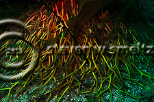 Kelp forest photograph, Macrocystis pyrifera, Southern California (Steven W Smeltzer)