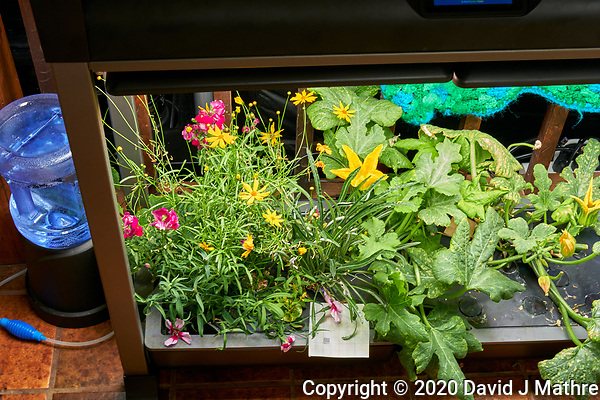 AeroGarden Farm 05-Left. Flowers - Snapdragon, Celosia, Coreopsis, Dianthus, Gazania, Poppy (95 days). Image taken with a Leica TL-2 camera and 35 mm f/1.4 lens (ISO 500, 35 mm, f/8, 1/30 sec). (DAVID J MATHRE)