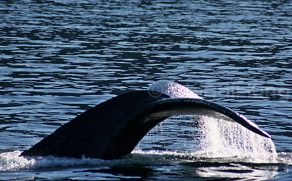 Humpack whale tail rising out of the water in Alaska