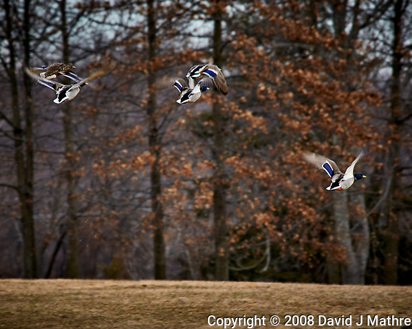 Mallard Ducks in flight at the Sourland Mountain Preserve. Image taken with a Nikon D300 camera and 80-400 mm VR lens (ISO 560, 400 mm, f/8, 1/250 sec). (David J Mathre)