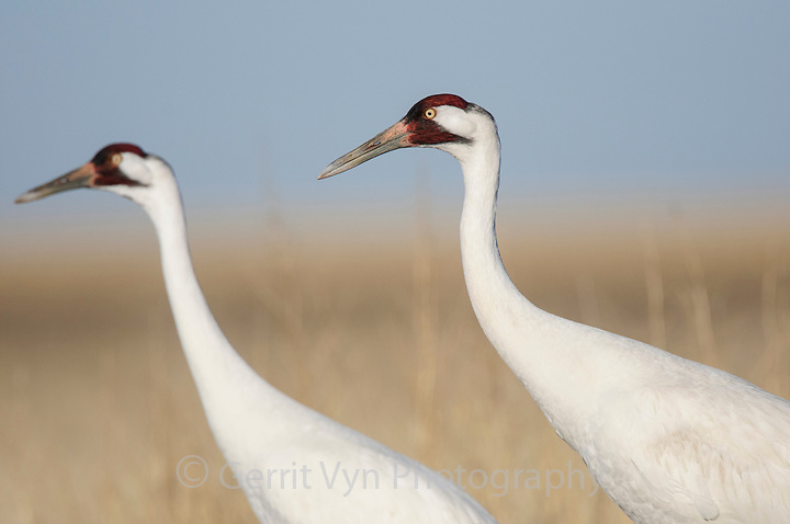 Adult Whooping Cranes during spring migration (Grus americana). South Dakota. April. (Gerrit Vyn)